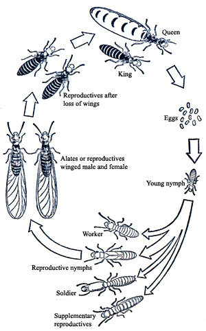 Ant Life CycleQueen Termite Life Cycle